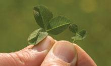 Reducing Nitrogen Loss by Using Microclover